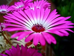 dorotheanthus bellidiformis, annual plant, flower, gerbera, daisy, macro photography, flora, close-up, ice plant, plant stem, pink, petal,