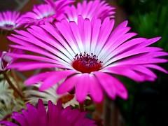 blossom(0.0), plant(0.0), dorotheanthus bellidiformis(1.0), annual plant(1.0), flower(1.0), gerbera(1.0), daisy(1.0), macro photography(1.0), flora(1.0), close-up(1.0), ice plant(1.0), plant stem(1.0), pink(1.0), petal(1.0),