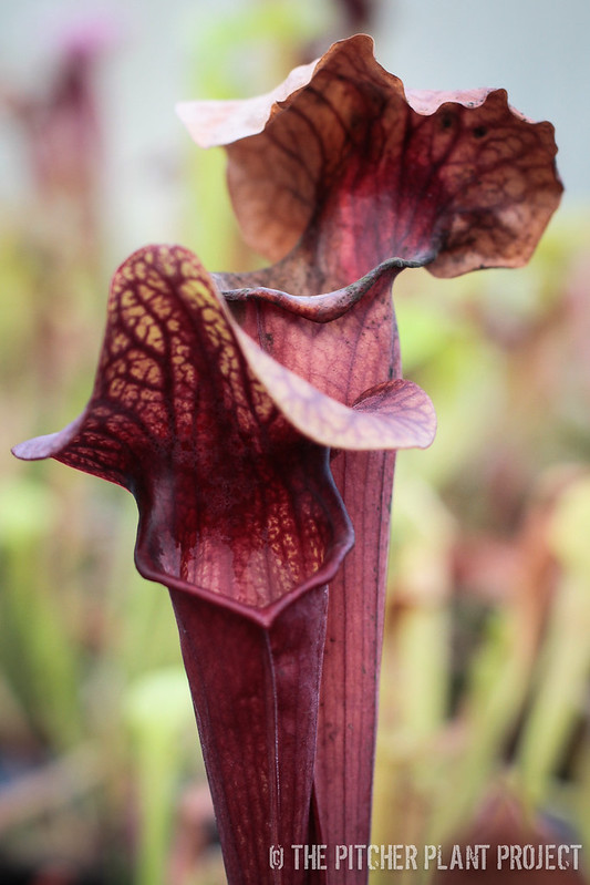 Sarracenia 'Abandoned Hope'
