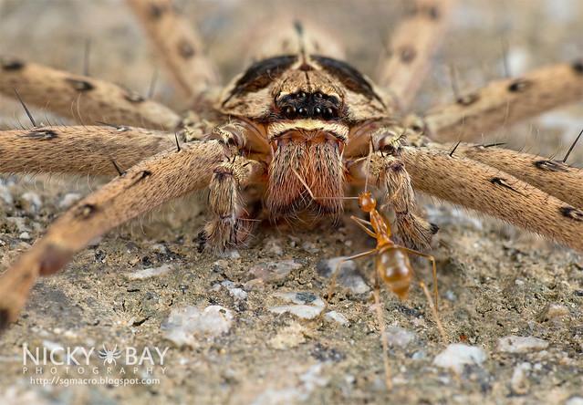 Huntsman Spider (Heteropoda sp.) - DSC_2025