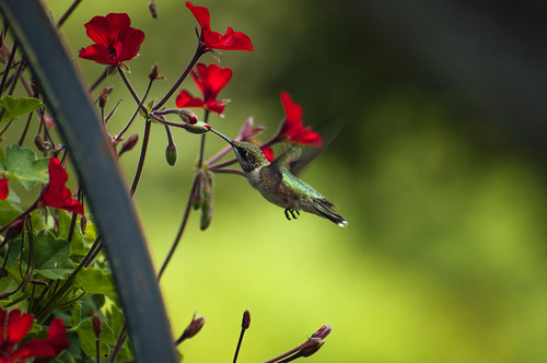Hummingbird On The Ranch by Jeff.Hamm.Photography