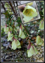 Qualup Bell (Pimelea physodes)
