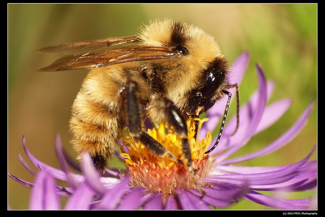 Northern amber bumble bee (Bombus borealis)