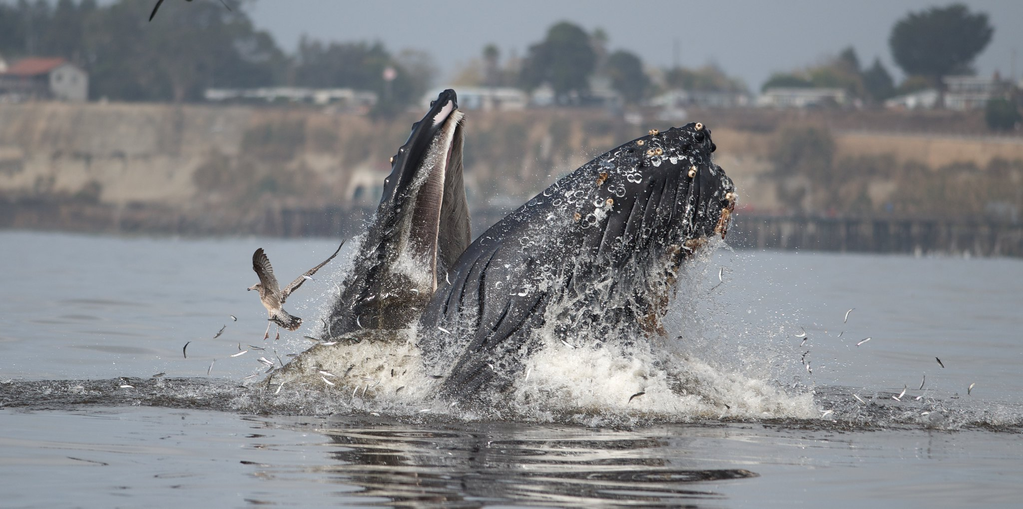 Humpback Whales off Capitola