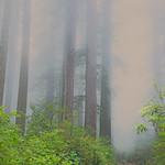Redwoods, California, 2013