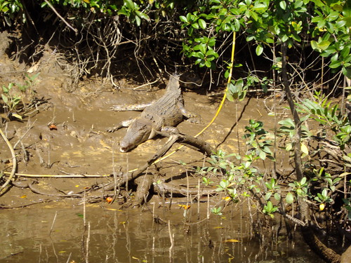Daintree River cruise. Salt water crocodile on bank.