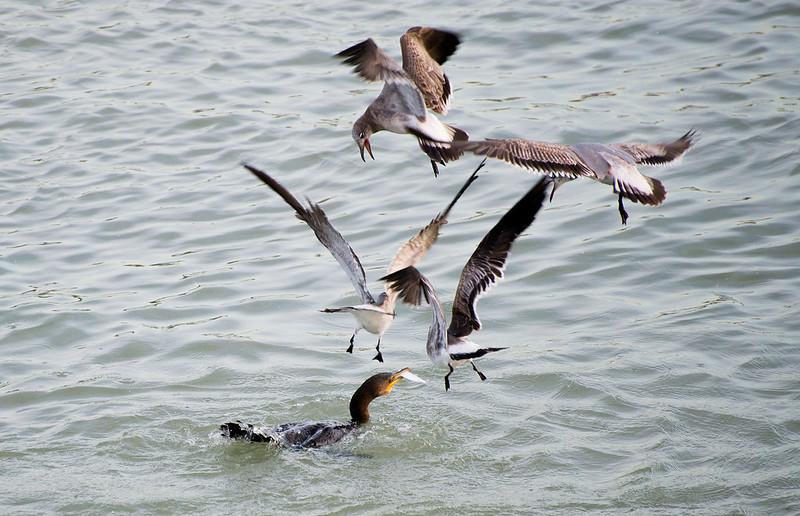 Seagulls attacking Cormoran