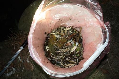 溪中撈起的死魚。葉淑玲攝