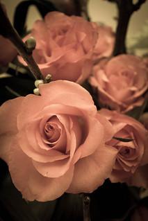 A vintage rose