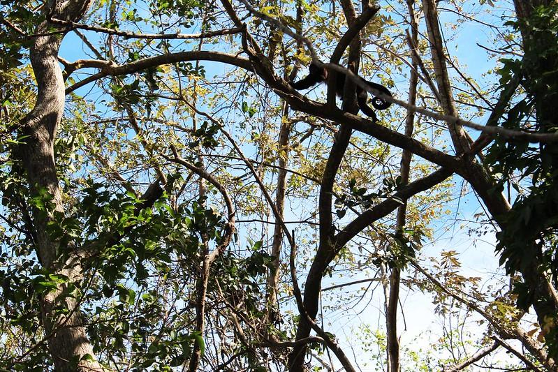 monkey isla de ometepe