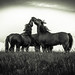 Dartmoor Ponies by Simon Hodgkiss Photography