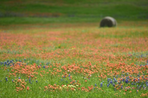 Texas Blue, Red and Yellow wildflowers