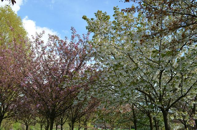 Berlin Cherry Blossom Festival Kirschbluetenfest Gaertens der Welt Erholungspark Marzahn_cherry blossom lined path blue sky