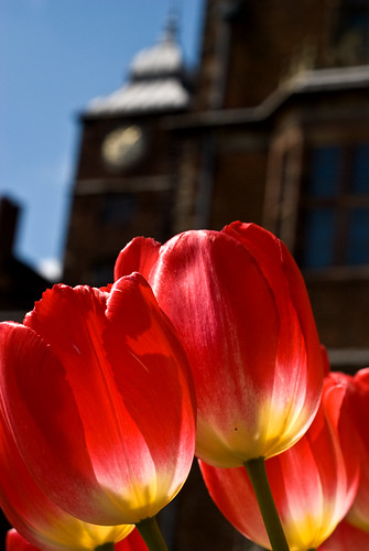 Tulips at Aston Hall
