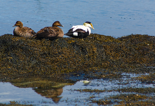 Common Eider Ducks