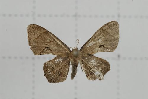 里港圓翅雙尾蛾,阿里山雙尾蛾