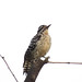Small photo of Ladder-backed Woodpecker