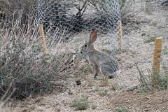 animal, hare, rabbit, fauna, rabits and hares, wildlife,