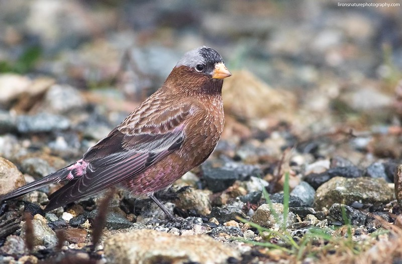 Gray-crowned-Rosy-Finch (interior)