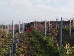 Cultivating Mataro organic vineyards / καλλιέργεια των βιολογικών αμπελώνων Ματάρο