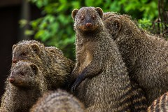Banded Mongoose at Jyllands Park Zoo