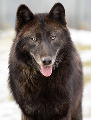 dog breed, animal, dog, norwegian elkhound, wolfdog, carnivoran, schipperke, wildlife,