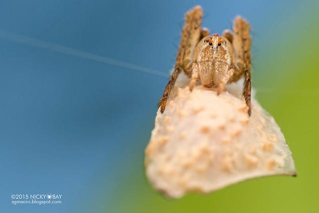 Lynx spider (Oxyopidae) - DSC_0435