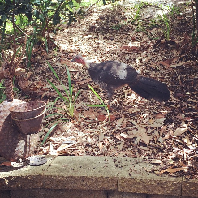 Bush turkeys are evil. That is all. #Killcare