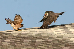 red shouldered hawk and perrigrine falcon IMG_1654a - Copy