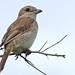 Small photo of Red-backed Shrike (Lanius collurio) female