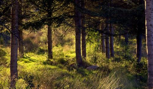 Lumière sous les pins