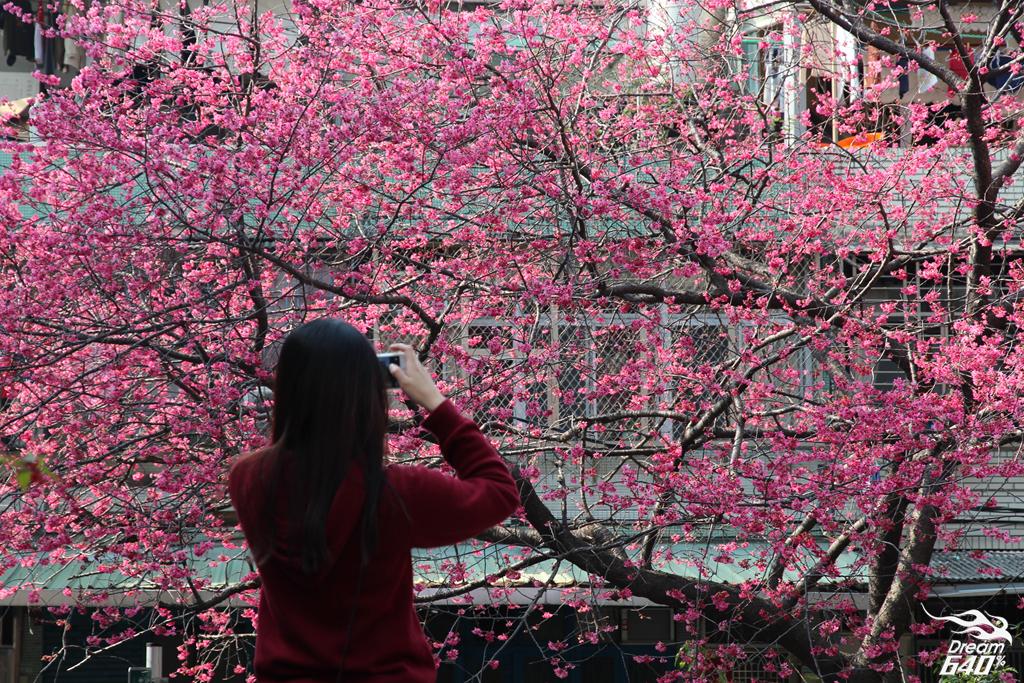 北投「櫻花王」磅礡盛開!讓北投人萬眾一心期待花開的60年老櫻花樹