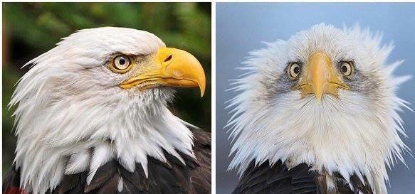 Почему символ США, белоголового орлана, принято изображать только в профиль