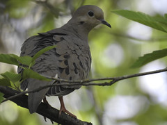 Oregon Summer Dove
