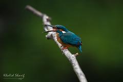 Common Kingfisher (Alcedo atthis)  普通翠鸟 pǔ tōng cuì niǎo
