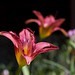 2016/366/196 The Last of the Day Lillies by cogdogblog
