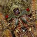 Small photo of Wrap-around Spider (Dolophones sp.) close-up