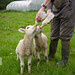 Lamb feeding @ Swillington Organic Farm