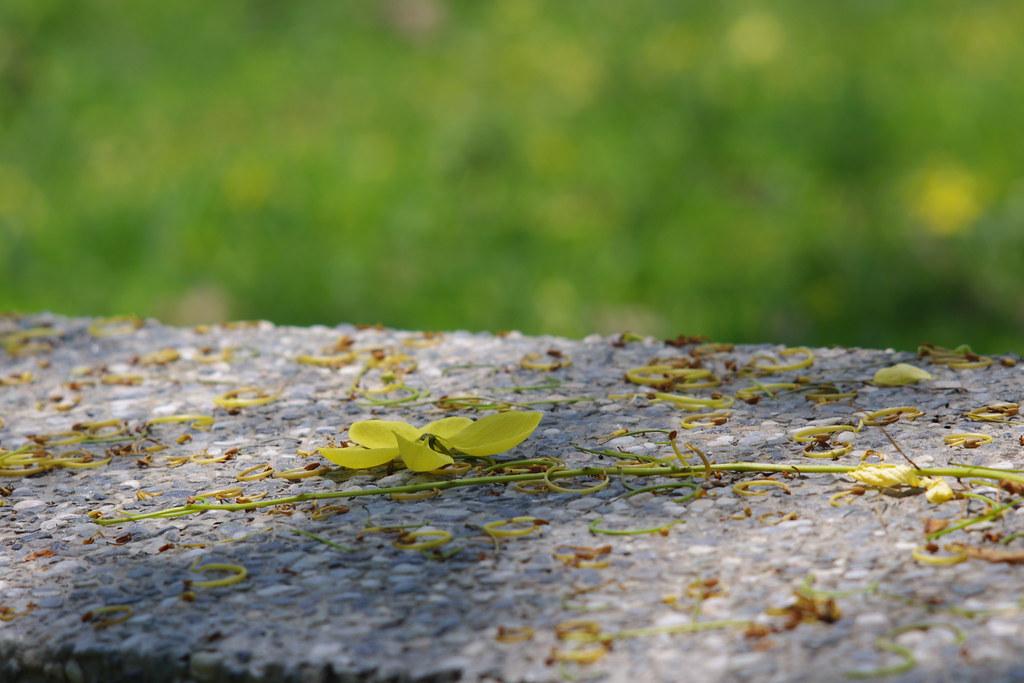 夏豔黃金雨-阿勃勒