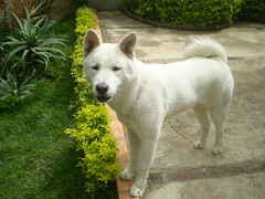 dog breed, animal, dog, canaan dog, norwegian buhund, white shepherd, kishu, korean jindo dog, carnivoran,