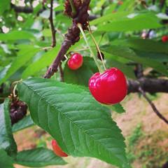shrub(0.0), acerola(0.0), flower(0.0), red mulberry(0.0), plant(0.0), damson(0.0), crataegus pinnatifida(0.0), produce(0.0), food(0.0), schisandra(0.0), cherry(1.0), berry(1.0), branch(1.0), tree(1.0), chokecherry(1.0), fruit(1.0),