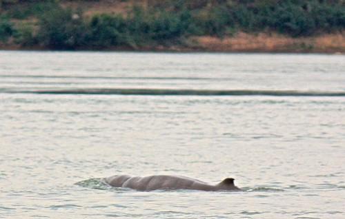 Irrawaddy dolphin near Kratie, Cambodia