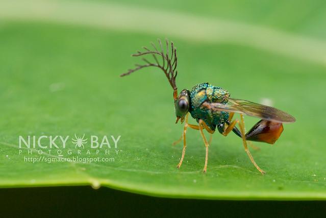 Eucharitid Wasp (Eucharitidae) - DSC_6469