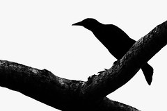 Shadow Grackle