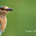 Indian Roller Chick by T@hir'S Photography