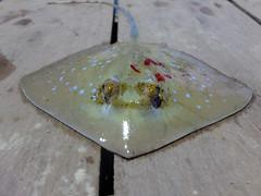 Stingray (dead)