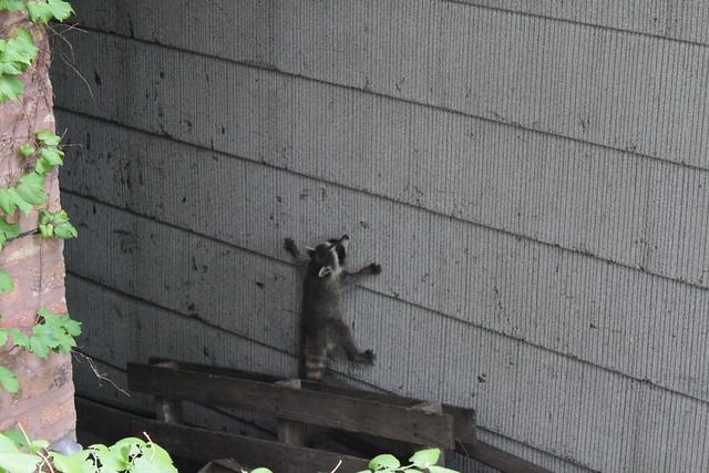 Raccoons next door - second encounter