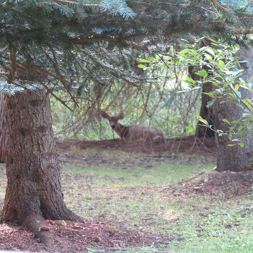 CC deer9