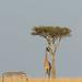 The Zebra, Giraffe and the Acacia Tree - Maasai Mara Kenya by Mikey O.
