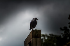 Jackdaw of Darkness; Dohle der Dunkelheit
